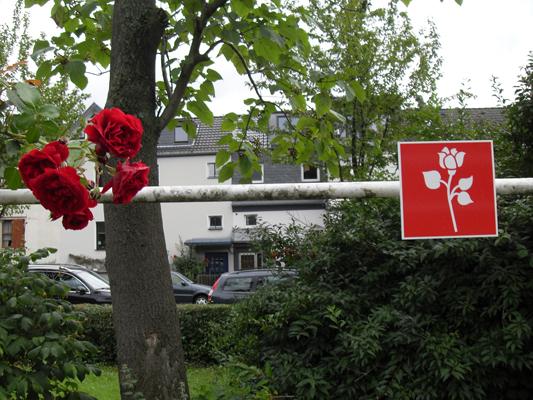 weifenbach_rose.jpg